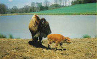 Bison, Mother & Calf